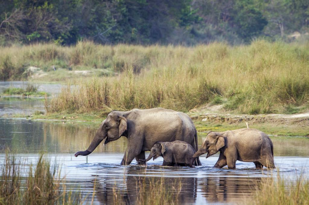 Asian elephants. India recently held the 13th CoP to UNEP CMS. Photo: iStock Photos