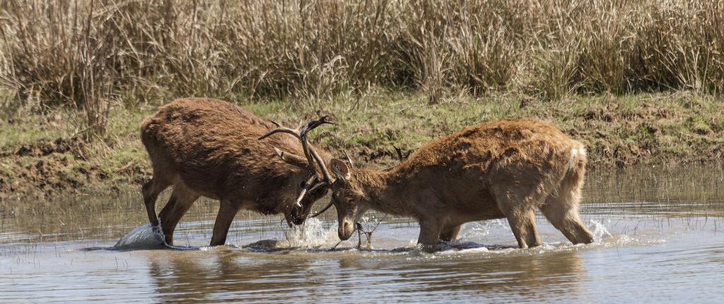 Two swamp deer lock horns in Kanha National Park, Madhya Pradesh. Photo: istock