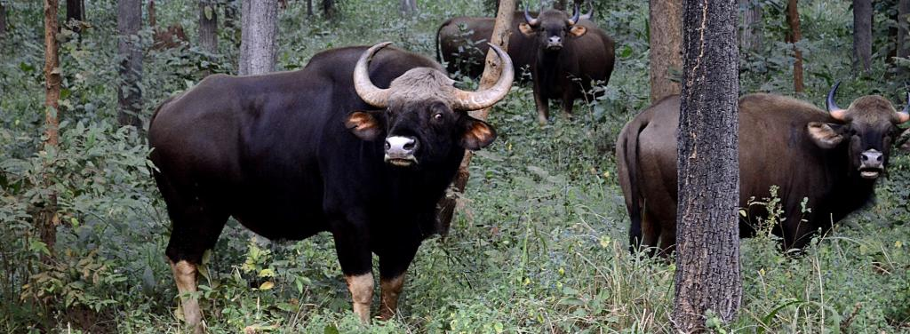A herd of Gaur. Photo: Wikimedia Commons