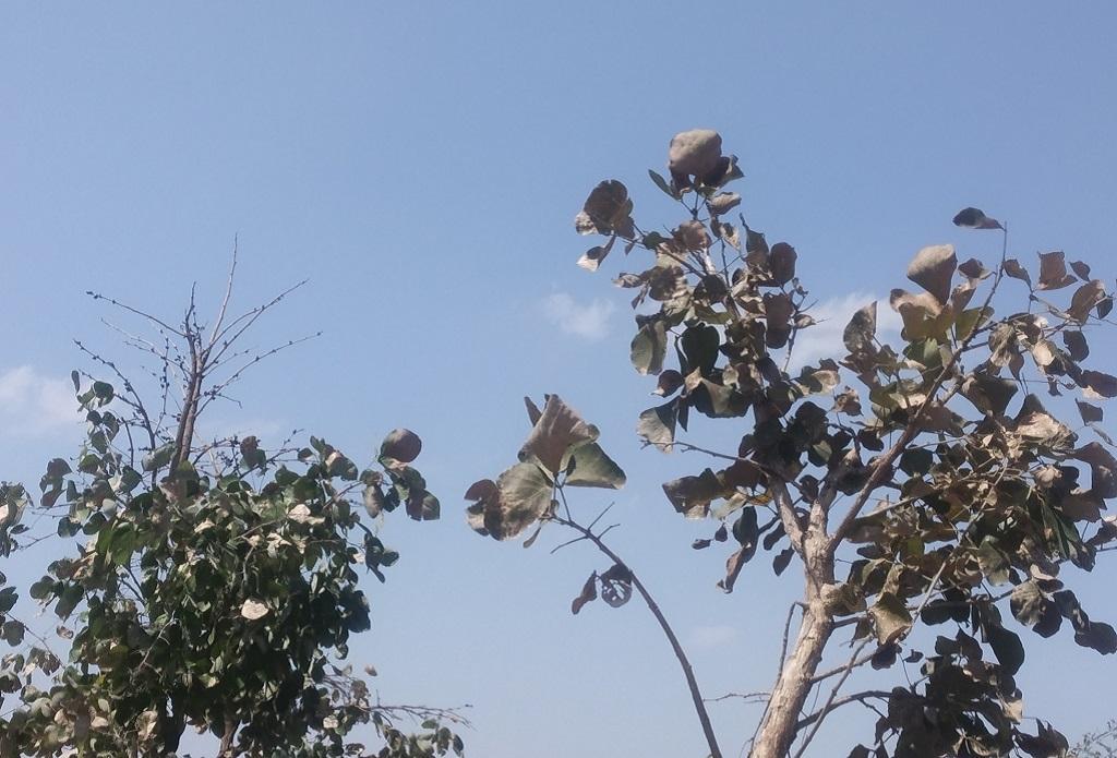 मध्यप्रदेश में सूने खड़े पलाश के पेड़। फोटो: मनीष चंद्र मिश्र