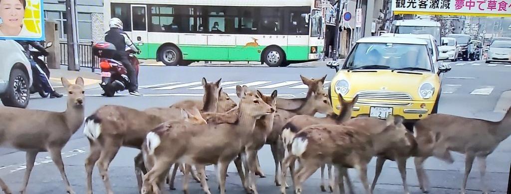 Deer in Nara city, Japan. Photo from Twitter