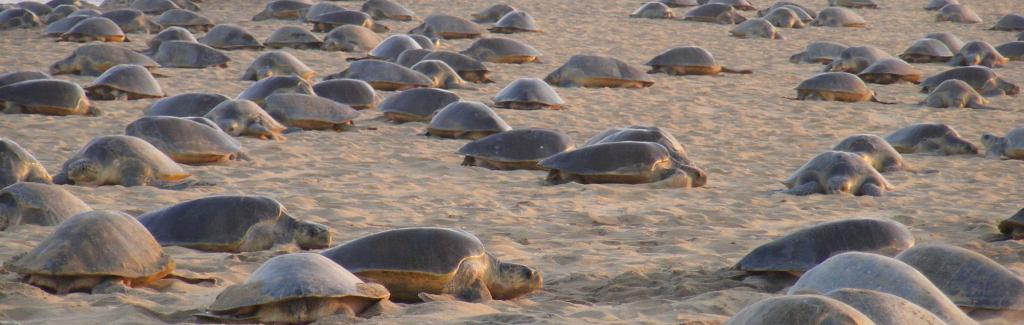 Mass nesting of Olive Ridley sea turtles at Gahirmatha marine sanctuary. Photo: Ashis Senapati