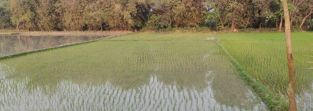 A flooded paddy field in Katihar. Photo: Vivek Mishra