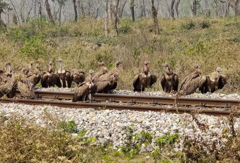 उत्तर बंगाल के बागराकोट में मृत मवेशी को खाते गिद्ध। फोटो: उमेश कुमार राय