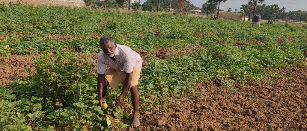 A farmer in Tirunelveli's Achankuttam village will soon harvest cucumber and lemon on his four-acre land. Photo: Shagun Kapil