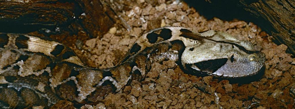 A gaboon viper. Photo: Wikimedia Commons