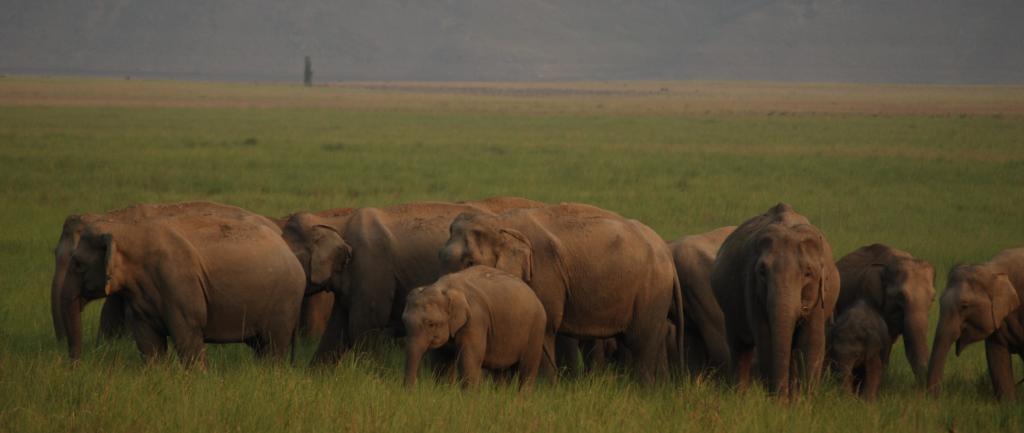 An elephant herd. Photo: Wikimedia Commons