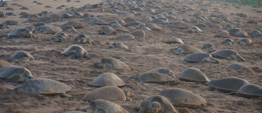 Olive Ridley turtles at Rushikulya beach in Odisha. Photo: Ashis Senapati