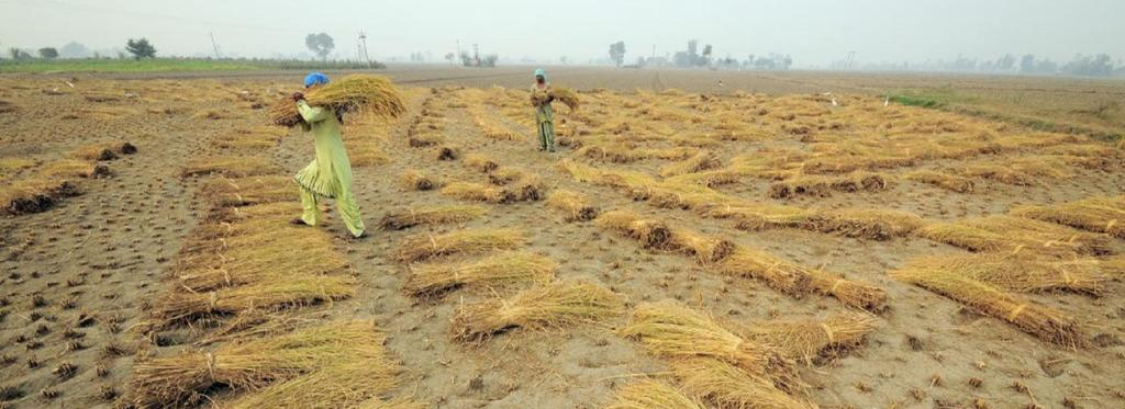 Hand-harvested rice being moved for threshing, near Sangrur in Punjab. Source: Flickr