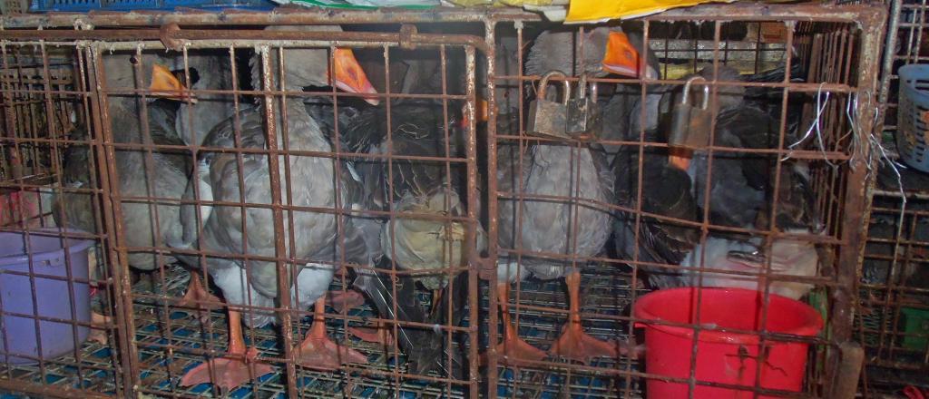 Ducks at a wet market. Photo: Wikimedia Commons
