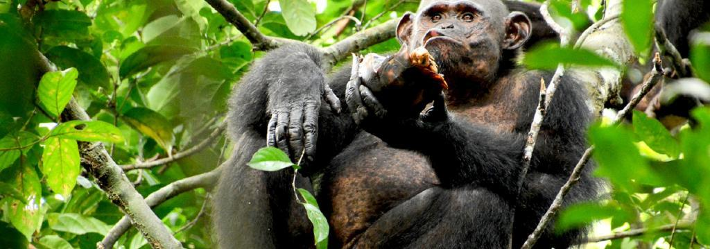 Great apes are the closest cousins of humans on the evolutionary tree Photo: Erwan Theleste, CC BY-SA