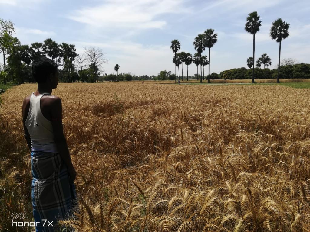 गेहूं पक गया है, बालियां झड़ रही हैं, लेकिन फसल काट नहीं पा रहे हैं। फोटो :  उमेश कुमार राय