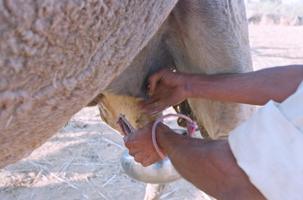 Dairy farmers indiscriminately use antibiotics on animals to avoid diseases.