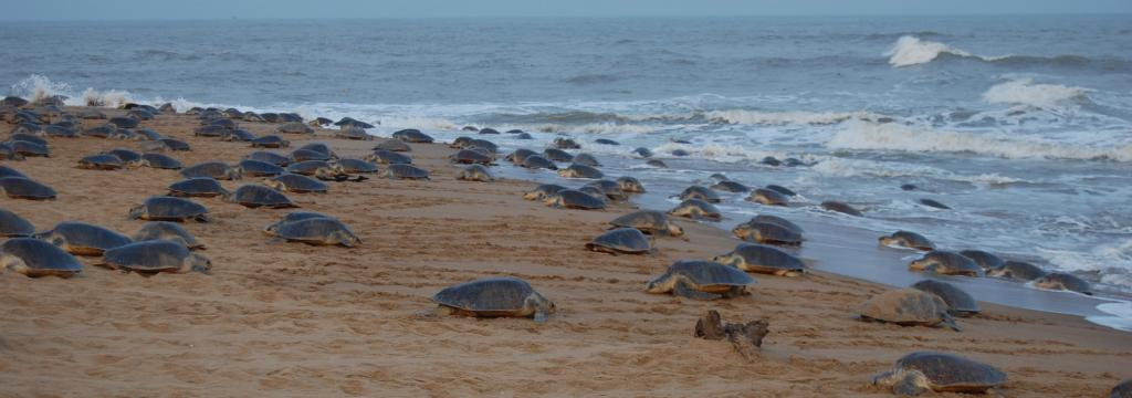 Olive Ridley turtles in Gahiramatha. Photo: Ashis Senapati