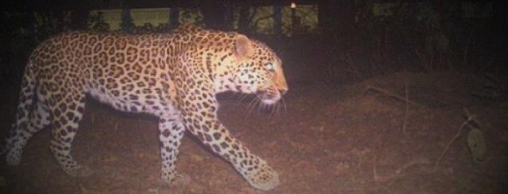 The leopard caught by a camera trap roaming at the Bihta air base near Patna. Photo: C K Manoj