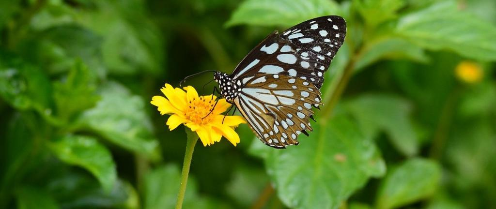 A butterfly sucking nectar from a flower. Photo: Wikimedia Commons