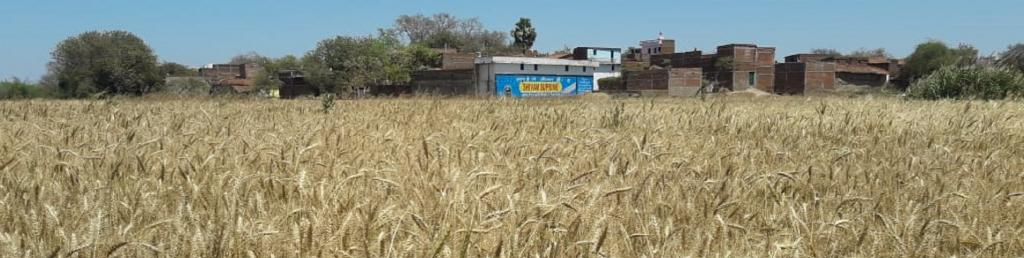Ripe wheat crops in fields in Deo block of Bihar's Aurangabad district Photo: C K Manoj
