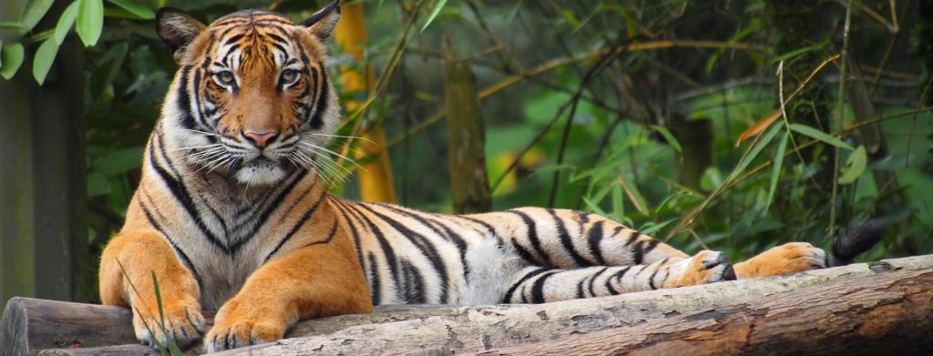 A Malayan tiger in the US was found to have the novel coronavirus disease (COVID-19) Photo: Wikimedia Commons