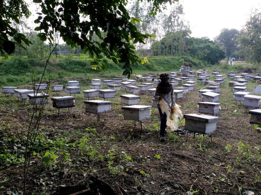 पाॅलिनेशन के लिए बेहद जरूरी खेतों में रखे मधुमक्खियों के बाॅक्स। फोटो: रोहित पराशर