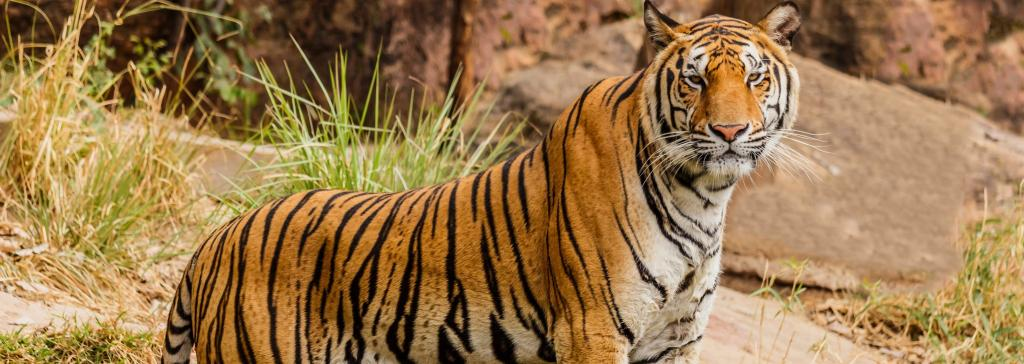A Bengal tiger. Photo: Flickr