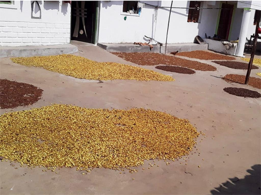 It is the flowering season of the mahua. It is a forest produce that is used for medicinal purposes and for making liquor. Photo: Avdhesh Mallick