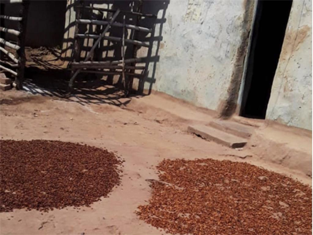 Mahua dries in Anjuni village. Approximately 10 kilograms of the mahua flower is sold in the market in a dried form. One family can collect upto 50 kg of the flower on one day. The flower sells for Rs 60-80 per kilo in the market. Photo: Avdhesh Mallick