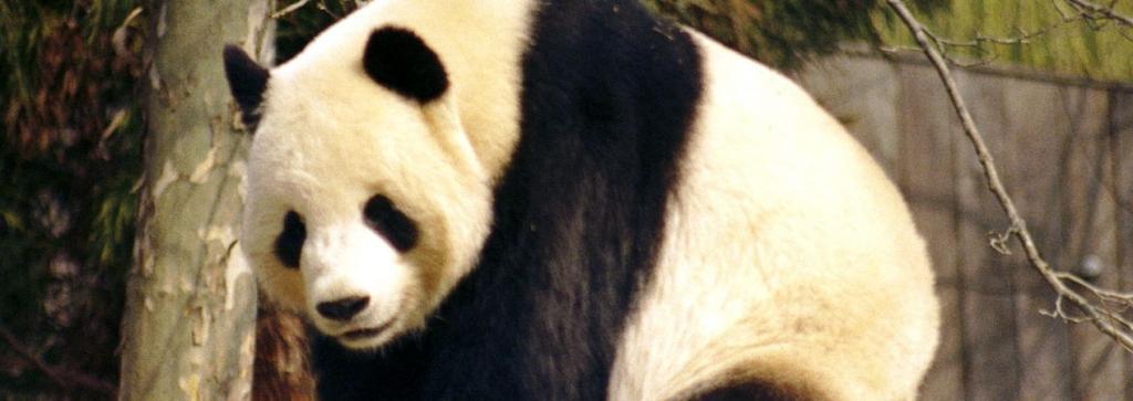A giant panda. Photo: Wikimedia Commons