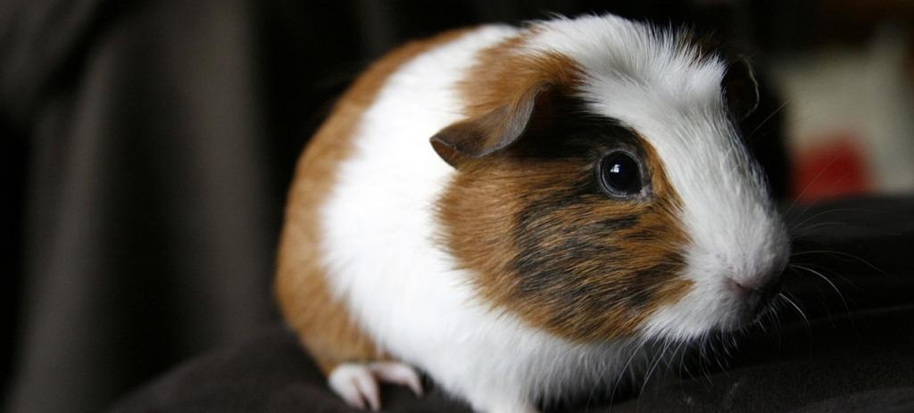 A guinea pig. Photo: Wikimedia Commons