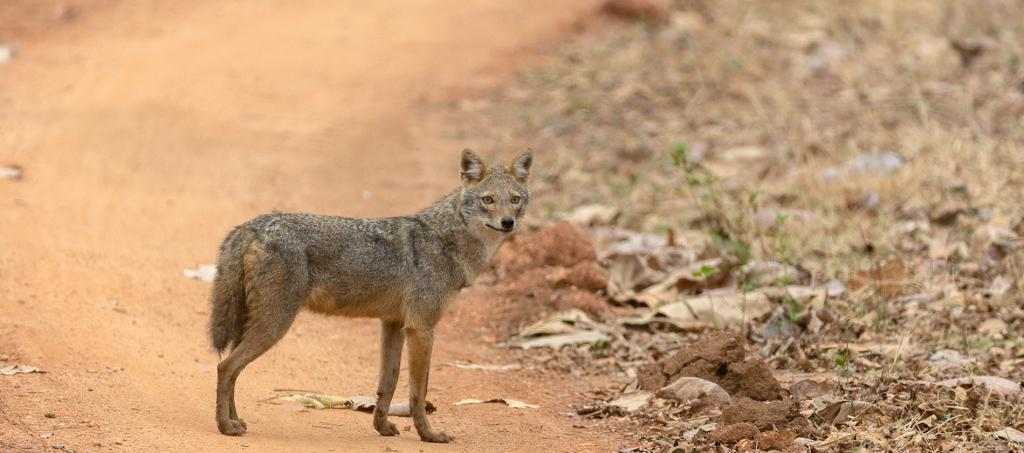 Most of the media focus on wildlife poaching in India revolves around charismatic species like tigers, elephants and rhinos for use of their body parts in traditional Chinese medicine. A new study has revealed that a species like the jackal too is poached in India, though for entirely different reasons. Photo: Goutham Shankar