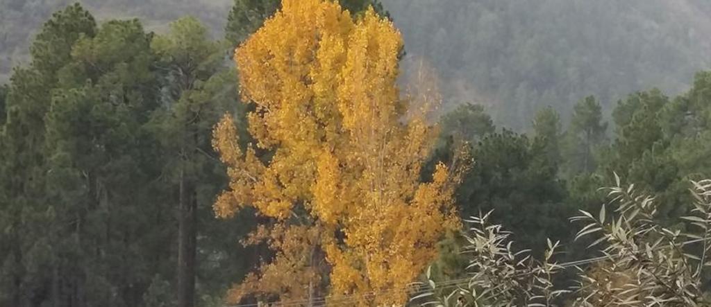 Poplar trees. Source: Wikimedia Commons