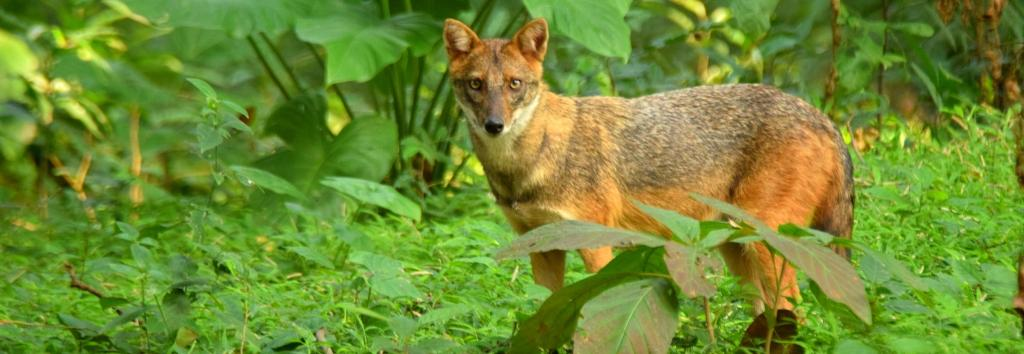 The study titled 'Do wildlife crimes against less charismatic species go unnoticed? A case study of Golden Jackal Canis aureus Linnaeus, 1758 poaching and trade in India' was conducted as part of the Wild Canids–India Project (www.wildcanids.net), and published in the Journal of Threatened Taxa. Photo: Shubhankar Dey