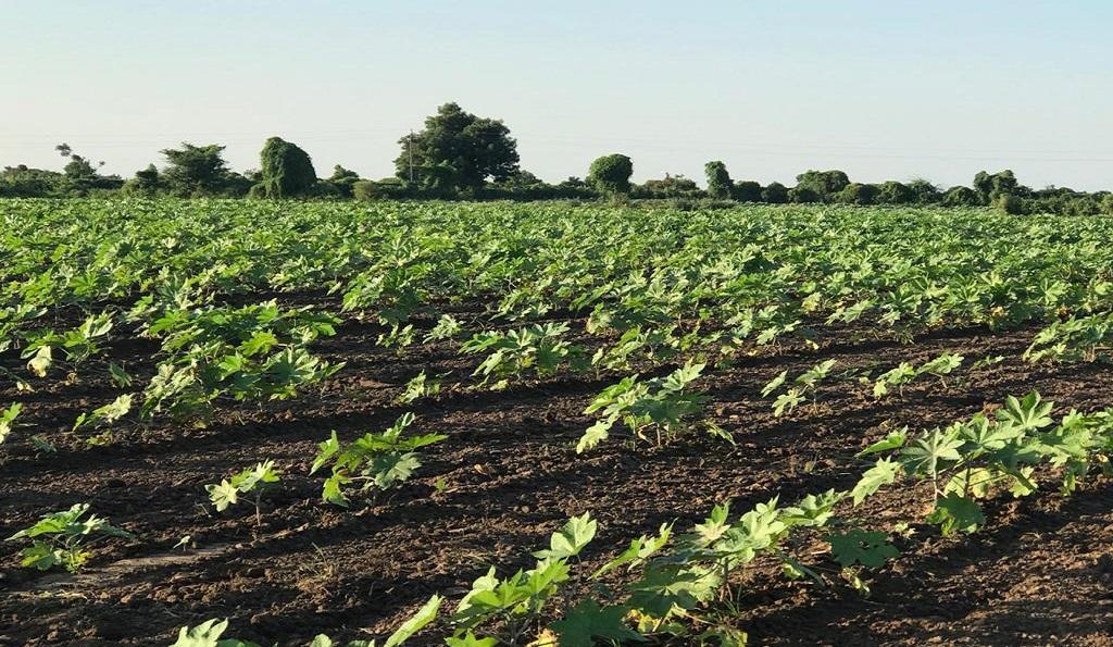 गुजरात: खेतों में खराब होती फसल। फोटो: कलीम सिद्दिकी