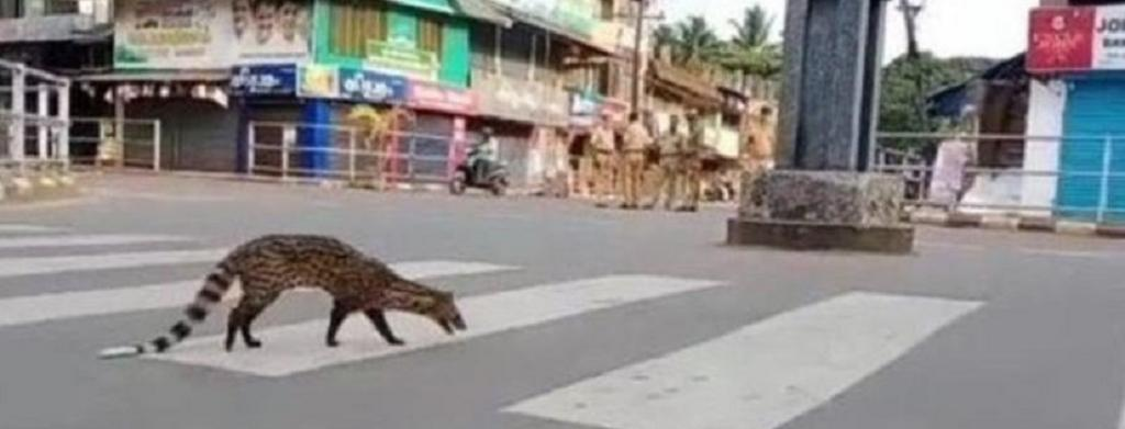 In Kerala, a common Indian civet, a creature of the night, was videographed on the streets of Kozhikode during the lockdown. Photo: @vegannutrition1 / Twitter