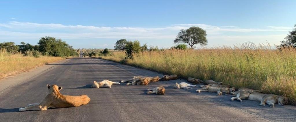 A lion pride was photographed sleeping on a road in South Africa's Kruger National Park without any tourists to disturb them as the country is in the middle of a lockdown due to COVID-19. Photo: @SANParksKNP / Twitter