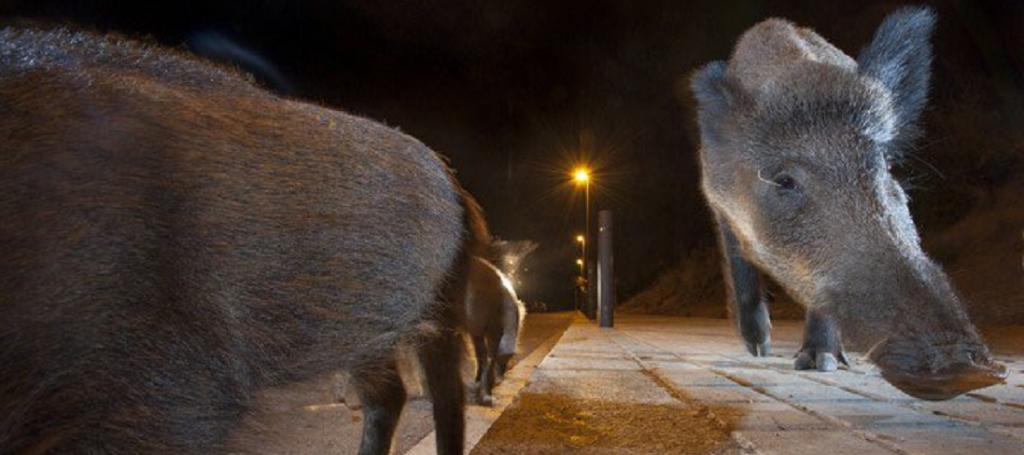 In Barcelona, Catalonia, wild boar were seen on the streets of the city. Spain has been among the three worst-affected countries due to the COVID-19 pandemic. Photo: @alfonslopeztena / Twitter