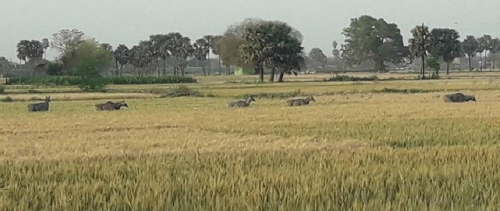 Nilgai antelope appeared in wheat fields of Bakhtiarpur and Bhojpur in Bihar even as farmers were not harvesting their crop due to the lockdown. Photo: C K Manoj