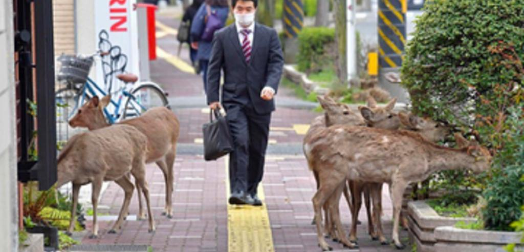 The world has gone into a lockdown ever since the novel coronavirus disease (COVID-19) broke out last December. As humans have been forced into confinement in their homes, wild animals have been seen entering human habitations, even big cities. Like the famous deer of Nara, Japan, who trooped into the town's streets after being unfed as there were no tourists to do so. Photo: @Johnny_suputama / Twitter