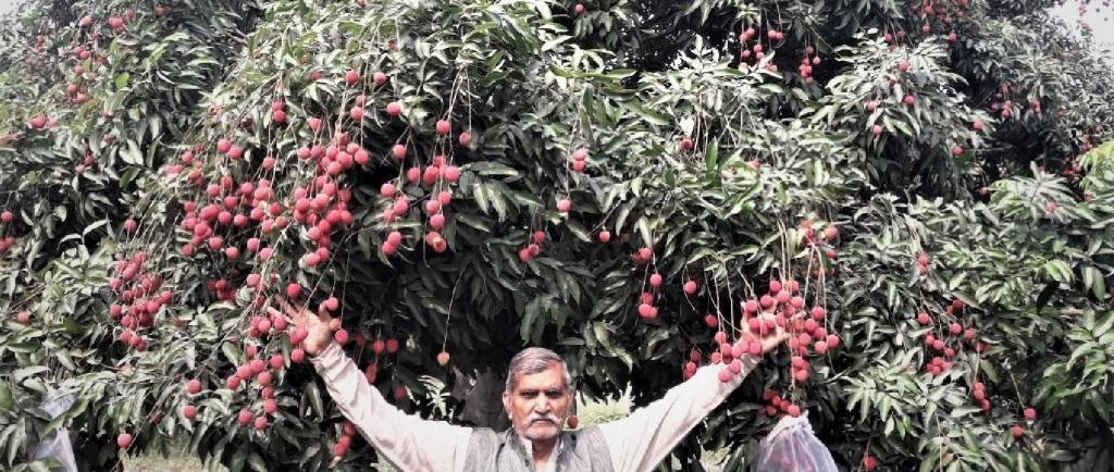 With industries shut and farmers rendered jobless, litchi trade has been badly hit. Source: CK Manoj