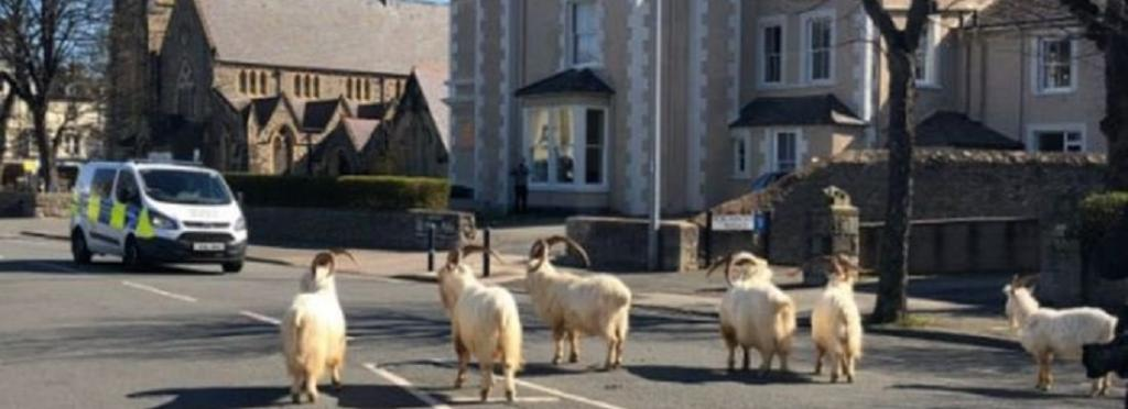 In the quiet, seaside town of Llandudno, Wales, a small herd of wild goats that normally roam nearby rocky hillsides, ventured into the town to feed on hedges and rest in grassy areas. Photo: @accountable_gov / Twitter