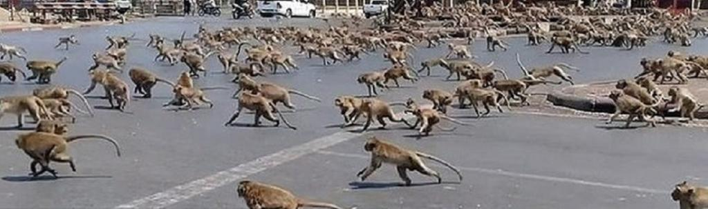 Another instance was the equally famous monkeys of Lopburi town in Thailand. Usually fed by tourists at this time of the year, a lack of visitors caused monkey 'street gangs' to quarrel over a pot of yoghurt in late March. Photo: @sibungwen / Twitter