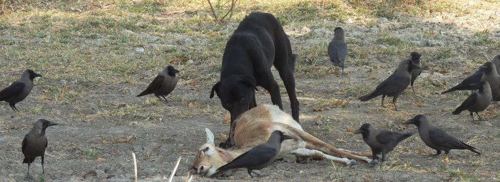 A female blackbuck being eaten by a feral dog in Rajasthan's Tal Chappar Wildlife Sanctuary. Photo: Sumit Dookia