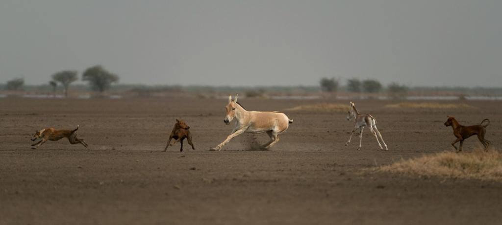 A pack of feral dogs chasing a female Indian Wild Ass and her foal in the Rann of Kutch in 2014. Photo: Kalyan Varma