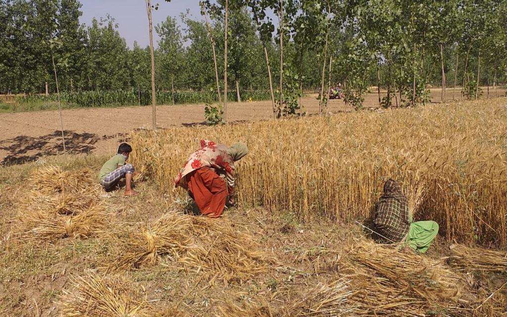 हरिद्वार में गेहूं की कटाई करते किसान। फोटो: वर्षा सिंह