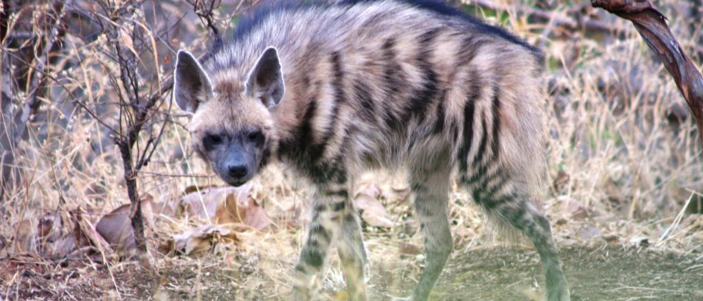 A Striped Hyena. Photo: Wikimedia Commons