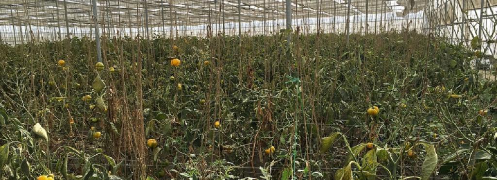 Pepper cultivation. Source: Flickr