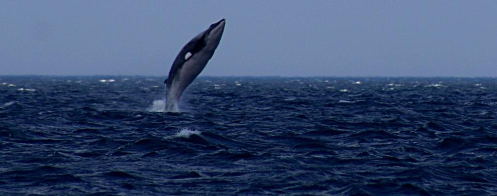 A breaching Minke whale. Photo: Flickr