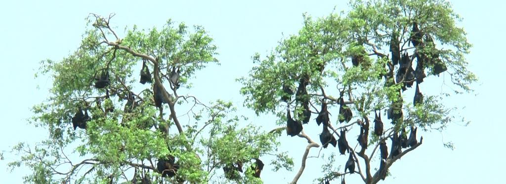 Bats roost in Kabatabandha village. Photo: Ashis Senapati