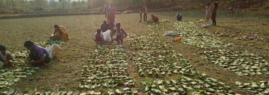 Tribals stacking Kendu leaves in bundles. Credit: Priya Ranjan Sahu