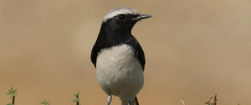 A male Variable wheatear (Oenanthe picata capistrata). Photo: Wikimedia Commons