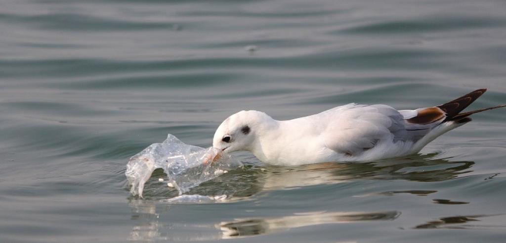 A Siberian gull eating plastic at the Sangam. Photo: Tripti Shukla